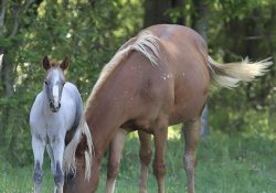 Red Roan Filly by Jasons Peptolena